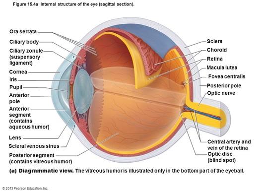 Internal anatomy of eye